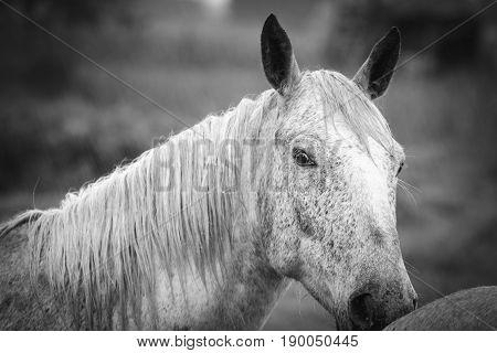 Grey Horse Of Camargue