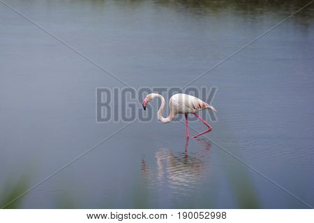 Rose flamingo in swamp in Camargue Land