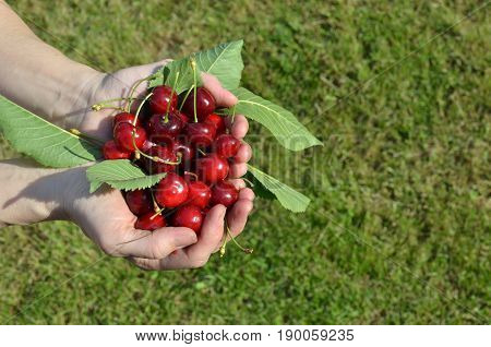 Palms Of Just Picked Cherries