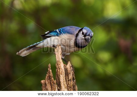 Blue jay perched on a broken tree