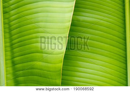 Closeup of the banana leaf texture.Greecn leaf
