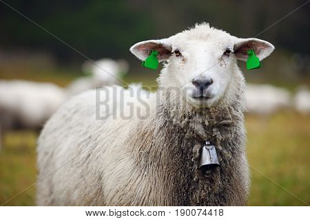 Portrait of furry sheep with ear tags and bell in field close-up