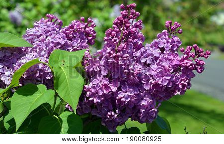 Syringa vulgaris (lilac or common lilac) is a species of flowering plant in the olive family Oleaceae, native to the Balkan Peninsula, where it grows on rocky hill