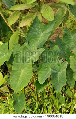 Close up of Fresh Green Taro Plant