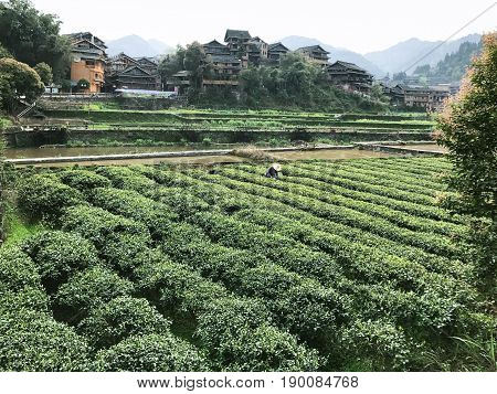 Picker On Tea Plantation In Chengyang Village