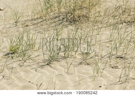 Green grass and flowers growing on dry sand beach.