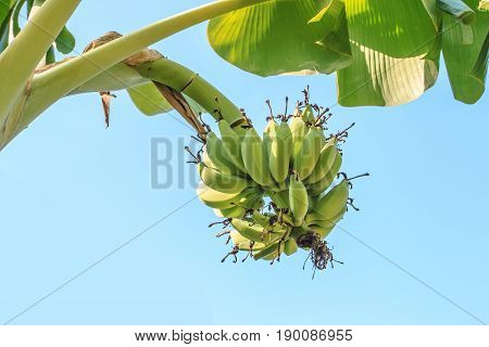 Banana tree with bunch of growing green bananas on blue sky background.