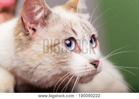 cat. cat or kitten small domestic animal with blue eyes whiskers and fluffy furry coat sitting in human arms on blurred background. Pet care and veterinarian
