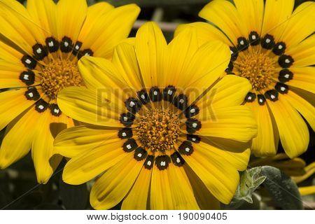 Yellow gazania flowers in full bloom under the sun