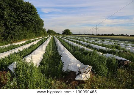 Cultivation process Asparagus plants / Asparagus cultivation