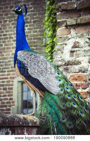Peacock on wall in grounds of Herstmonceux castle