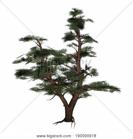 Pine tree isolated in white background - 3D render