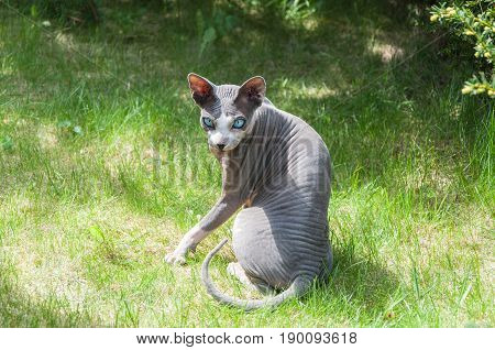 Canadian hairless sphynx cat sits in park