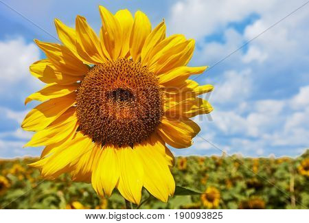 Yellow sunflower against clouds. summer landscape. nature
