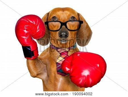 Dachshund Sausage Dog Boxing As The Boss