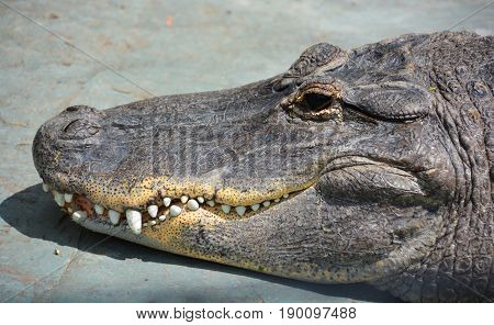 An alligator is a crocodilian in the genus Alligator of the family Alligatoridae. The two living species are the American alligato and the Chinese alligator.