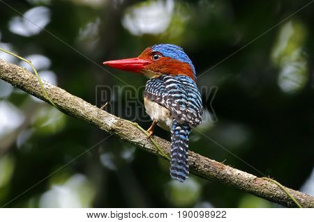 Banded Kingfisher Lacedo Pulchella Male Cute Birds Of Thailand