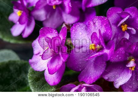 Flowering Saintpaulias, Commonly Known As African Violet. Mini Potted Plant. A Dark Background.
