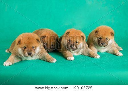Shiba Inu puppies on green background. Studio shot.