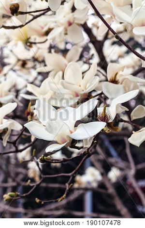 Blossoming Magnolia Tree In Beijing Imperial City