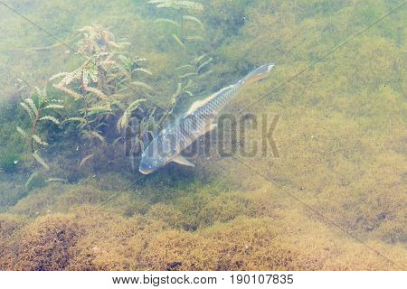 Above View Of Carp Fish In Yi River
