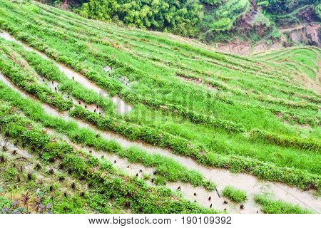 Above View Of Rice Beds On Terraced Gardens