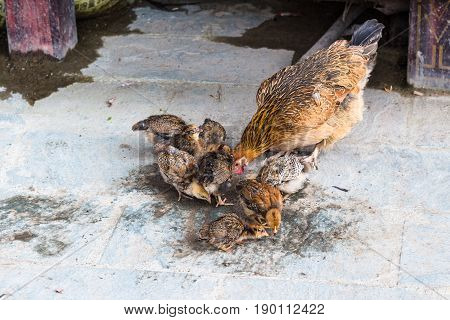 Hen With Chicks Pecking Grains On Street