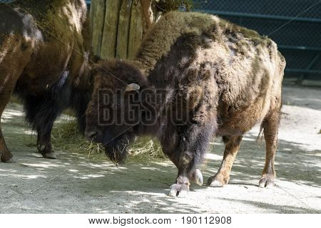 a big and heavy Bison is walking