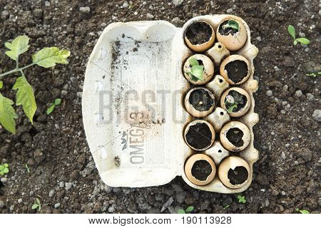 Seedlings sprout grow in the eggshell. Greenhouse