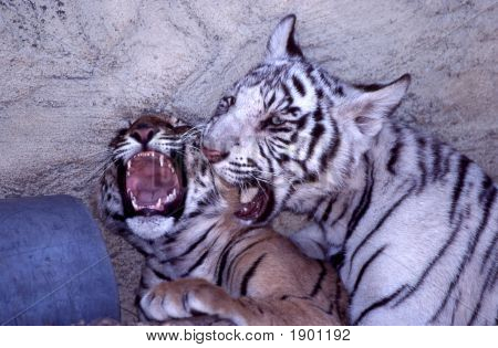 Twoplayfultigercubs