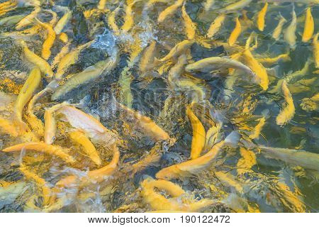 Close up of adult amber trout fish in an artificial pond. School of fish in trout farm. Bright yellow and orange fish. Breeding of trout for food industry.
