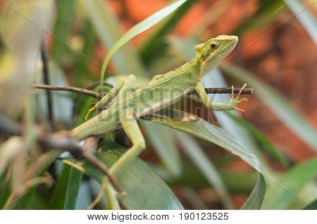 Close Up On Iguana Casquehead Leamanctus Longipes