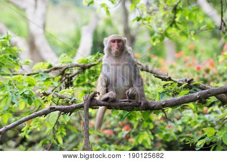 adult female with a wounded eye of the rhesus macaque sits on a tree holding a branch