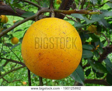 Orange fruit with parasites. Orange hanging on its tree