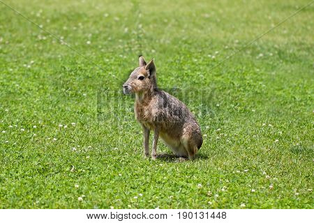 Mara or patagonian cavy (dolichotis patagonum) on grass.