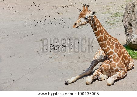 Baby giraffe sitting on the ground copy space available.