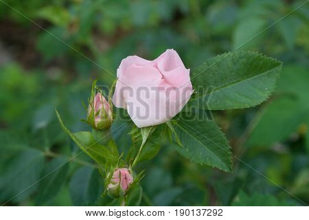 Beautiful pink wildflower dogrose. Closeup on green background with leaves