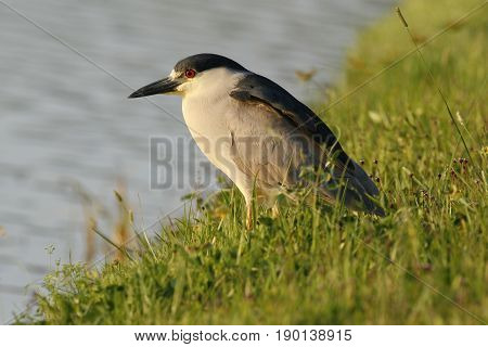 A Black Crowned Night Heron, (Nycticorax nycticorax) standing by a lake in Florida