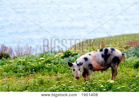 A spotty a pig in field colors on a background of the sea poster