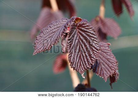 Purple Leaved Hazel Corylus Maxima Purpureal leaf detail defocused background deciduous shrub
