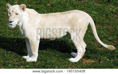 White lion is a rare color mutation of the lion. Until 2009 when the first pride of white lions was reintroduced to the wild, it was widely believed that the white lion could not survive in the wild