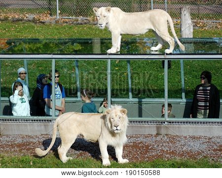 HEMMINGFORD QUEBEC CANADA 08 10 13: People watch timbavati white lion in the glass tunnels are designed so that you can watch these majestic felines from three different angles above, beside and below