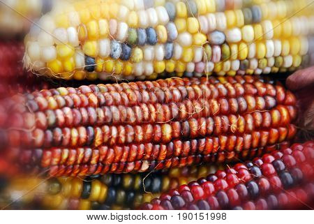 Cheerful and Colorful dried Indian Corn in a basket as decoration for Thanksgiving Table, Halloween, and the Fall Season