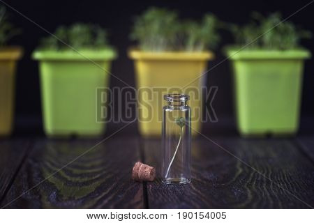 Rukkola plant in a test-tube, plant cultivation. Biotechnology of the future
