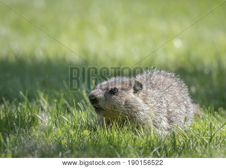 Adorable little baby groundhog (Marmota Monax) walks along fresh green grass in the morning