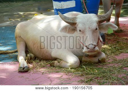 close up albino buffalo in country farm