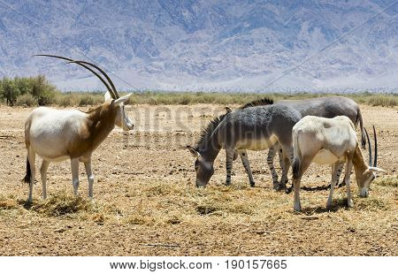 Families of antelope scimitar horn Oryx (Oryx leucoryx) and Somali wild donkey (Equus africanus) in nature reserve park, Israel