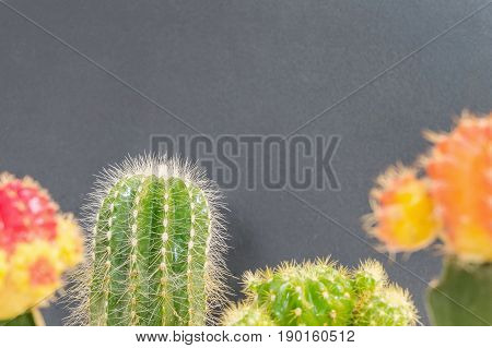 Closeup fresh green and colorful cactus plant on blurred blackboard textured background with copy space