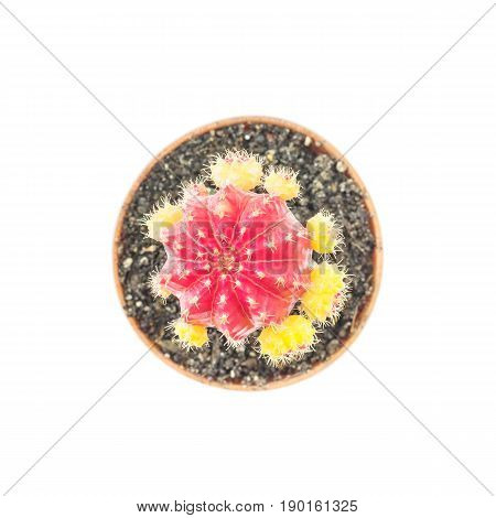 Closeup fresh red and yellow cactus in brown plastic pot for decorate isolated on white background in top view