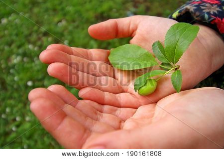 Small green fruit with green leaves in child's hands
